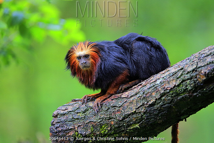 Golden-headed Lion Tamarin (Leontopithecus chrysomelas), native to South America