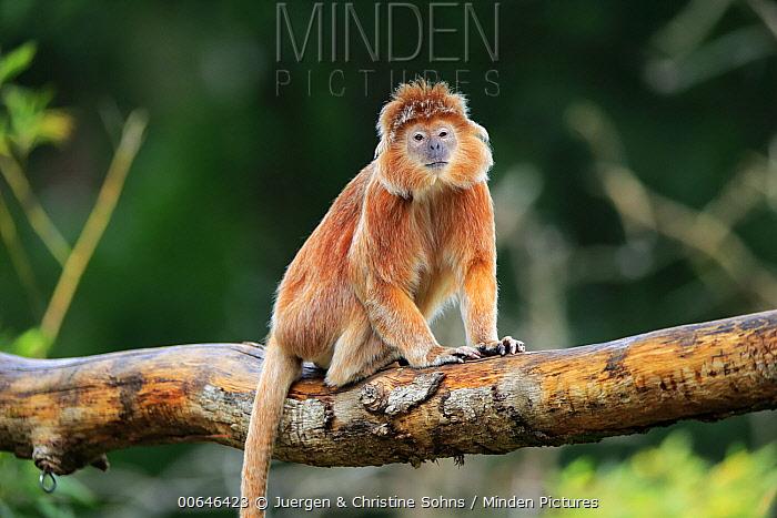 Ebony Leaf Monkey (Trachypithecus auratus), native to Asia