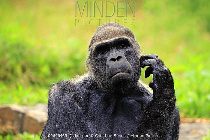 Gorilla (Gorilla gorilla) silverback scratching, native to Africa