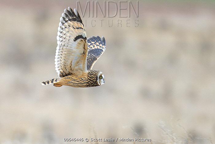 Short-eared Owl (Asio flammeus) flying, Acadian Grand Pre Marsh, Nova Scotia, Canada