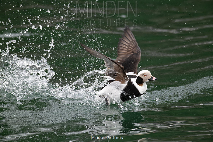 Long-tailed Duck (Clangula hyemalis) drake taking off, Bay of Fundy, Nova Scotia, Canada