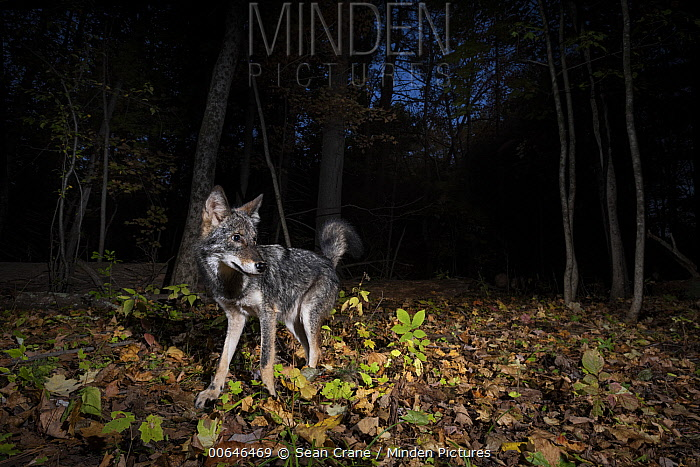 Coyote (Canis latrans) in forest at night, Farmington, Connecticut