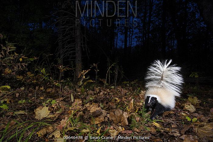 Striped Skunk (Mephitis mephitis) at night, Farmington, Connecticut