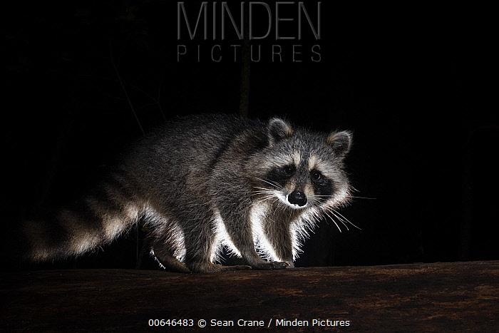 Raccoon (Procyon lotor) at night, Farmington, Connecticut