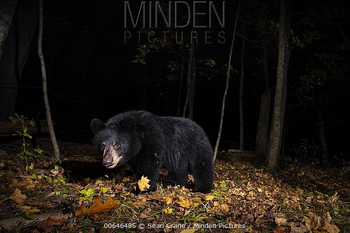 Black Bear (Ursus americanus) juvenile at night, Farmington, Connecticut