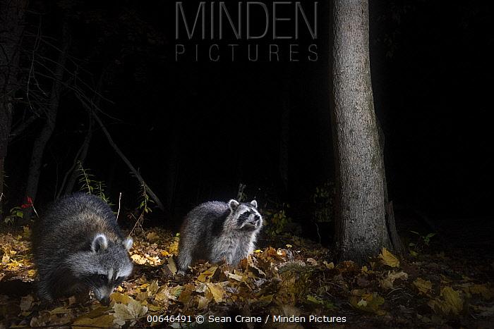 Raccoon (Procyon lotor) pair at night, Farmington, Connecticut