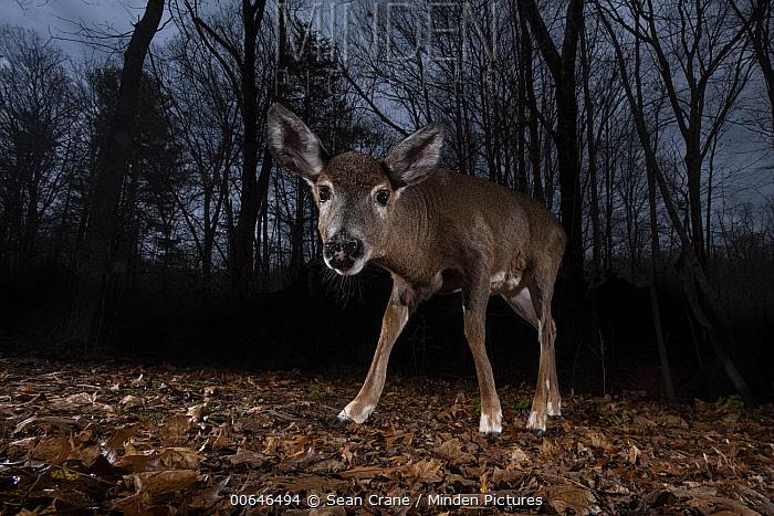 White-tailed Deer (Odocoileus virginianus) in winter forest, Farmington, Connecticut