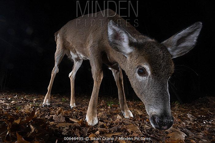 White-tailed Deer (Odocoileus virginianus) at night, Farmington, Connecticut
