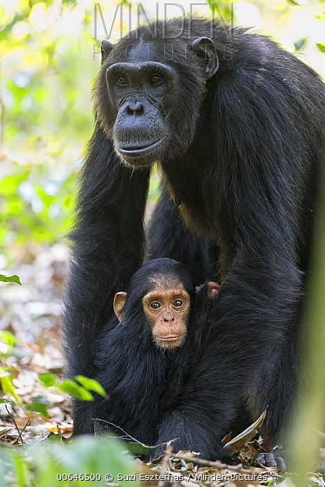 Chimpanzee (Pan troglodytes) mother and one-year-old young, Kibale Forest National Park, Uganda