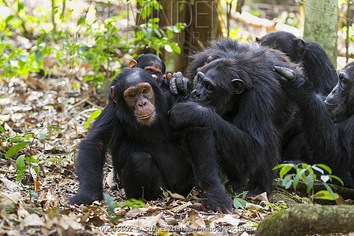 Chimpanzee (Pan troglodytes) group grooming, Kibale Forest National Park, Uganda