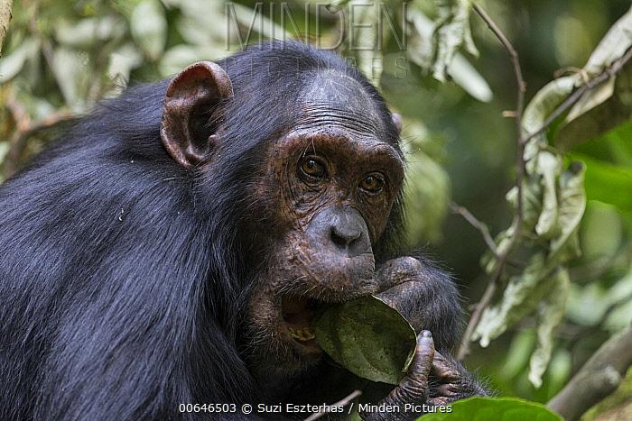 Chimpanzee (Pan troglodytes) feeding on leaf, Kibale Forest National Park, Uganda