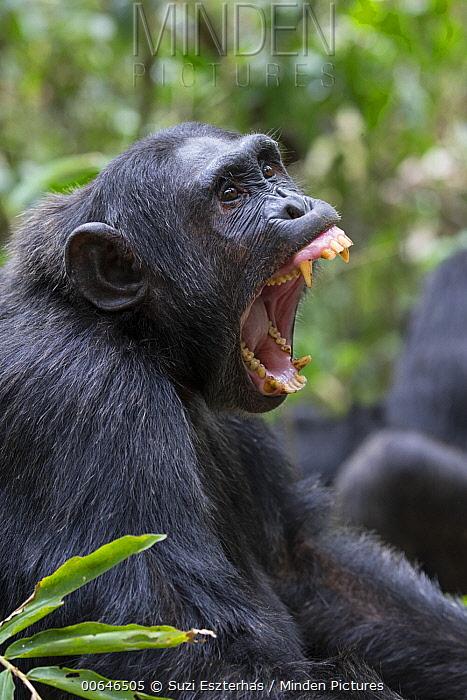 Chimpanzee (Pan troglodytes) male yawning, Kibale Forest National Park, Uganda