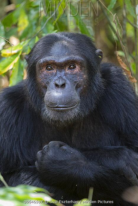 Chimpanzee (Pan troglodytes) alpha male, Kibale Forest National Park, Uganda