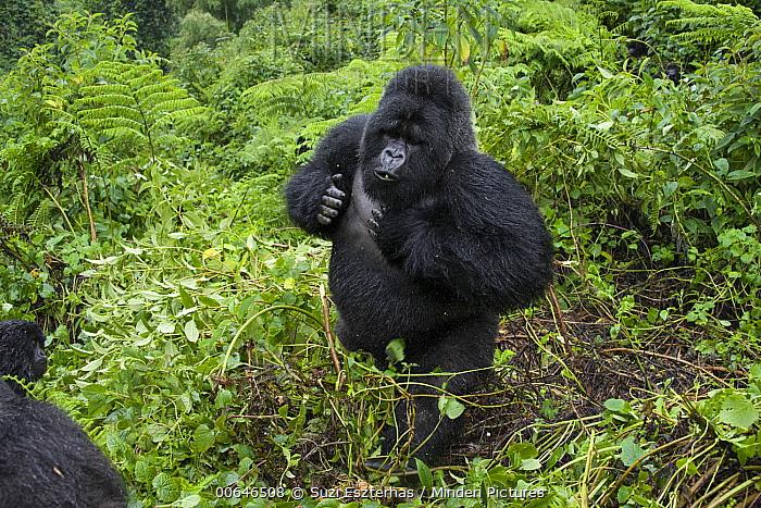 Mountain Gorilla (Gorilla gorilla beringei) silverback beating chest, Parc National Des Volcans, Rwanda