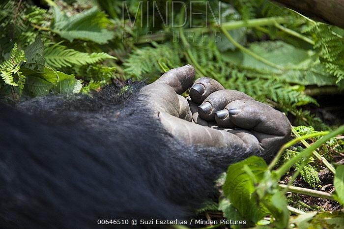 Mountain Gorilla (Gorilla gorilla beringei) hand, Parc National Des Volcans, Rwanda