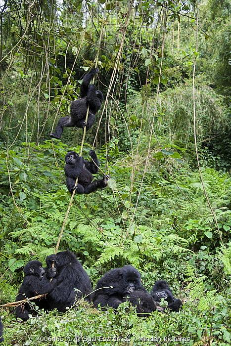 Mountain Gorilla (Gorilla gorilla beringei) juveniles playing, Parc National Des Volcans, Rwanda