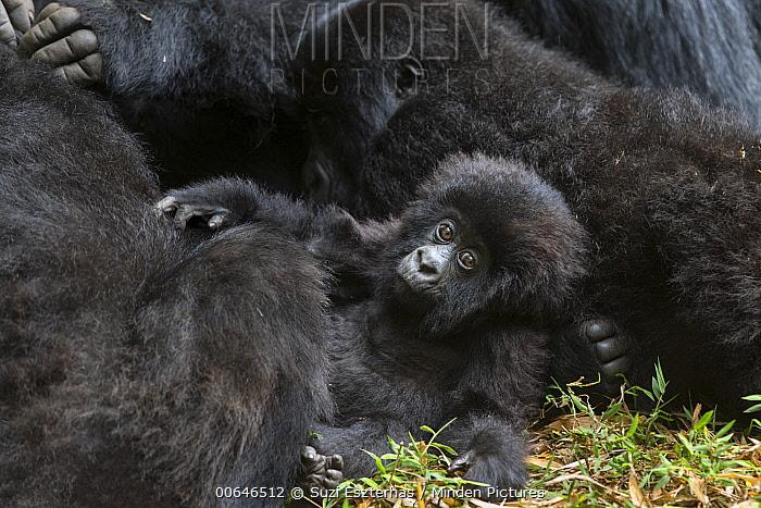 Mountain Gorilla (Gorilla gorilla beringei) eight month old baby, Parc National Des Volcans, Rwanda