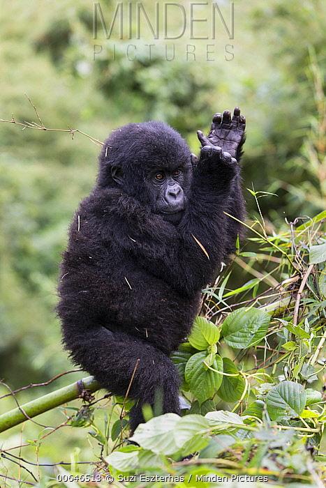 Mountain Gorilla (Gorilla gorilla beringei) juvenile clapping hands, Parc National Des Volcans, Rwanda