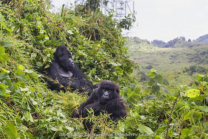 Mountain Gorilla (Gorilla gorilla beringei) silverback and juvenile in mountains, Parc National Des Volcans, Rwanda