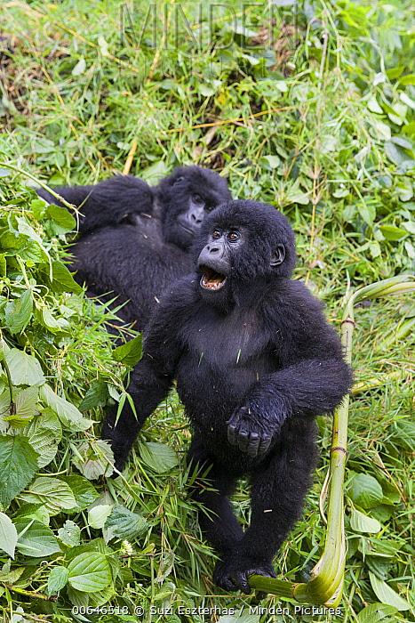 Mountain Gorilla (Gorilla gorilla beringei) juvenile playing, Parc National Des Volcans, Rwanda