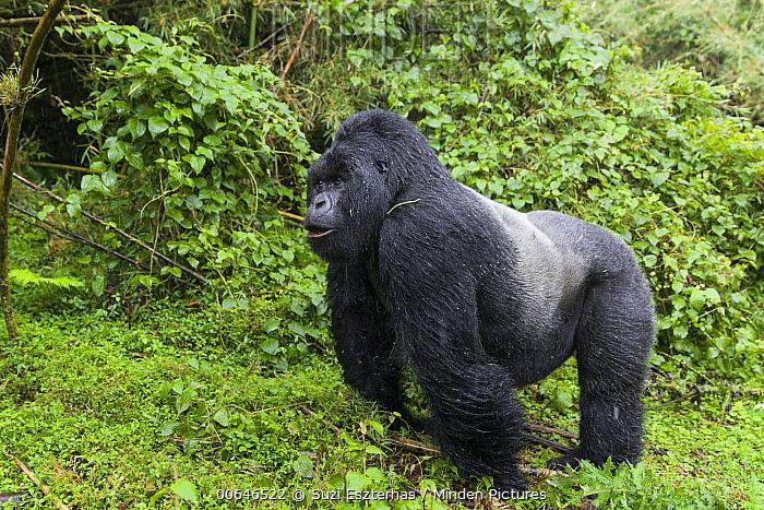 Mountain Gorilla (Gorilla gorilla beringei) silverback during rainfall, Parc National Des Volcans, Rwanda