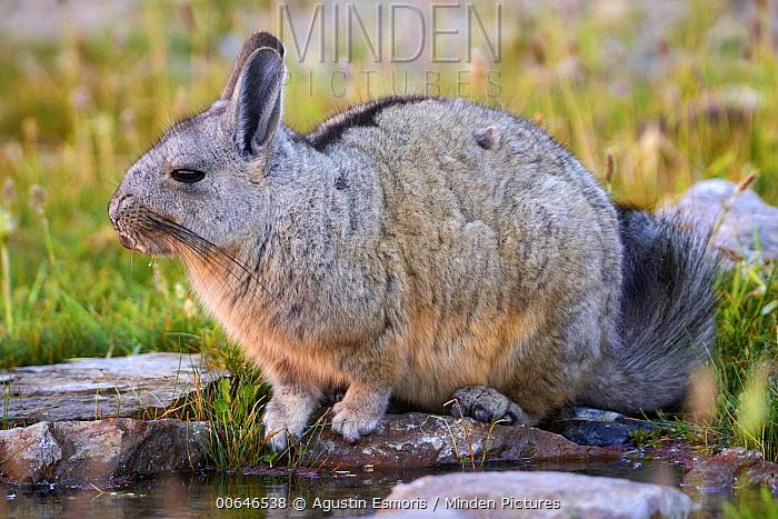 Southern Viscacha (Lagidium viscacia), Chubut, Patagonia, Argentina
