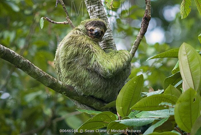 Brown-throated Three-toed Sloth (Bradypus variegatus) in tree showing fur covered in green algae, Pavones, Costa Rica