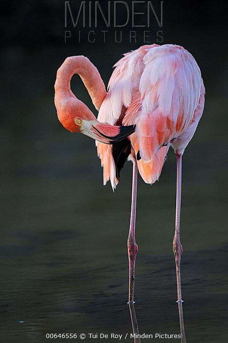 Greater Flamingo (Phoenicopterus ruber) preening, Las Bachas, Santa Cruz Island, Galapagos Islands, Ecuador