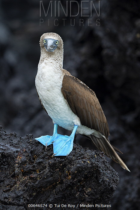 Blue-footed Booby (Sula nebouxii), Turtle Cove, Santa Cruz Island, Galapagos Islands, Ecuador