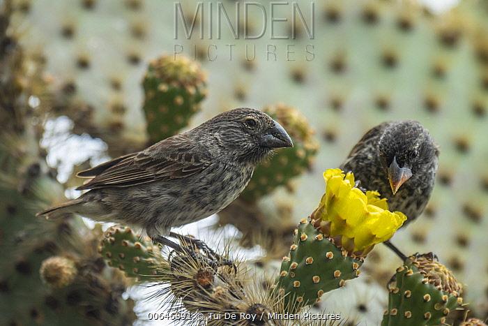 Medium Ground-Finch (Geospiza fortis) pair feeding on cactus flower nectar, Puerto Ayora, Santa Cruz Island, Galapagos Islands, Ecuador