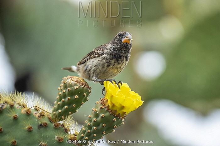 Medium Ground-Finch (Geospiza fortis) feeding on cactus flower nectar, Puerto Ayora, Santa Cruz Island, Galapagos Islands, Ecuador