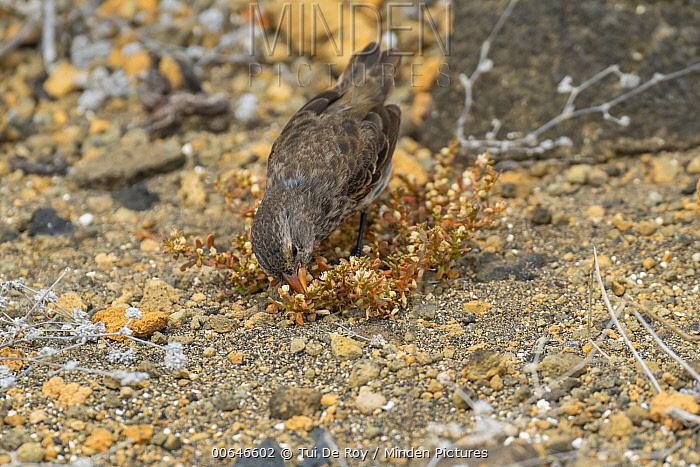 Small Ground-Finch (Geospiza fuliginosa) feeding, Bainbridge Islands, Galapagos Islands, Ecuador
