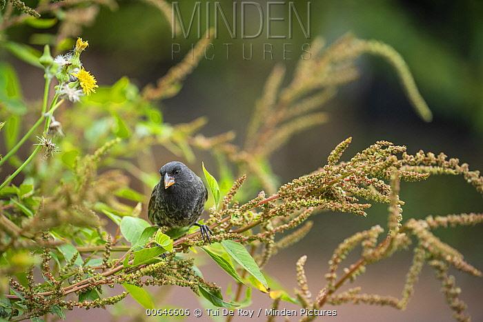Small Ground-Finch (Geospiza fuliginosa) feeding, Galapagos Islands, Ecuador