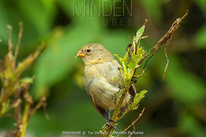 Small Tree-Finch (Camarhynchus parvulus) feeding, Puerto Ayora, Santa Cruz Island, Galapagos Islands, Ecuador