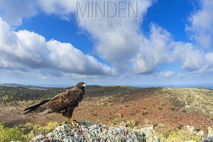 Galapagos Hawk (Buteo galapagoensis), Santa Fe Island, Galapagos Islands, Ecuador