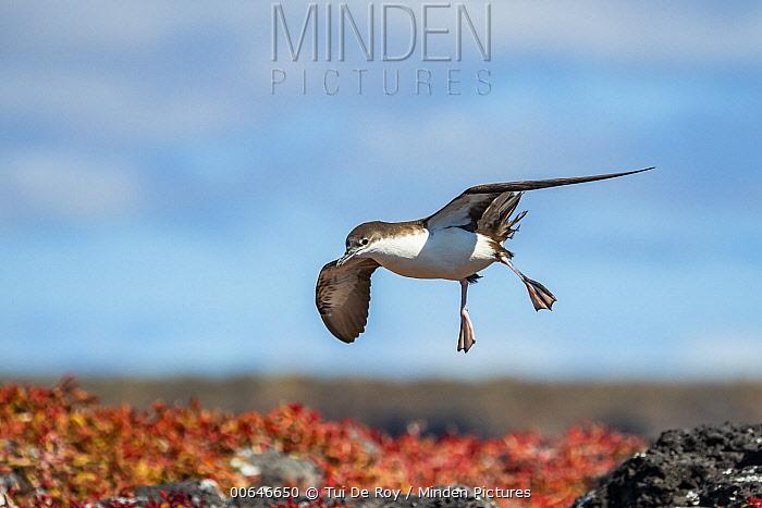 Galapagos Shearwater (Puffinus subalaris) flying, Plazas Island, Galapagos Islands, Ecuador
