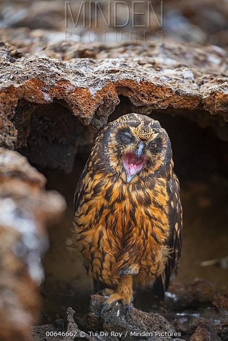 Short-eared Owl (Asio flammeus) calling, Genovesa Island, Galapagos Islands, Ecuador