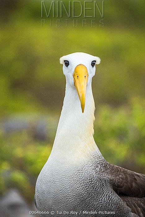 Waved Albatross (Phoebastria irrorata), Punta Suarez, Espanola Island, Galapagos Islands, Ecuador