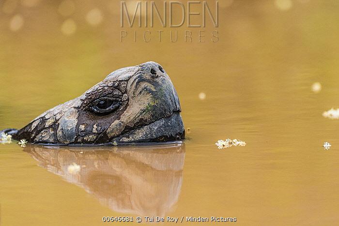 Volcan Alcedo Giant Tortoise (Chelonoidis vandenburghi) wallowing in pond, Alcedo Volcano, Isabela Island, Galapagos Islands, Ecuador
