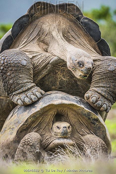 Volcan Alcedo Giant Tortoise (Chelonoidis vandenburghi) pair mating, Alcedo Volcano, Isabela Island, Galapagos Islands, Ecuador