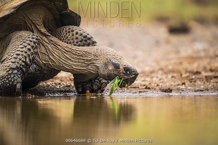 Volcan Alcedo Giant Tortoise (Chelonoidis vandenburghi) chewing on grass at pond, Alcedo Volcano, Isabela Island, Galapagos Islands, Ecuador
