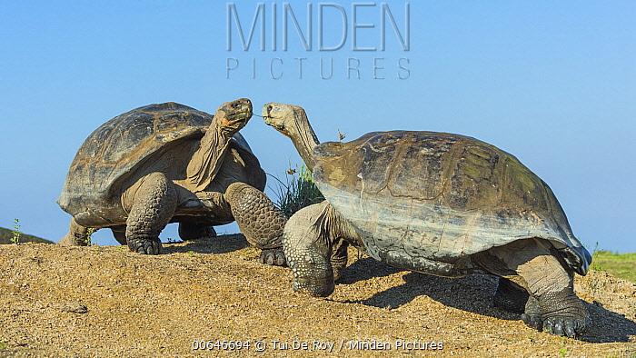 Volcan Alcedo Giant Tortoise (Chelonoidis vandenburghi) pair facing off, Alcedo Volcano, Isabela Island, Galapagos Islands, Ecuador
