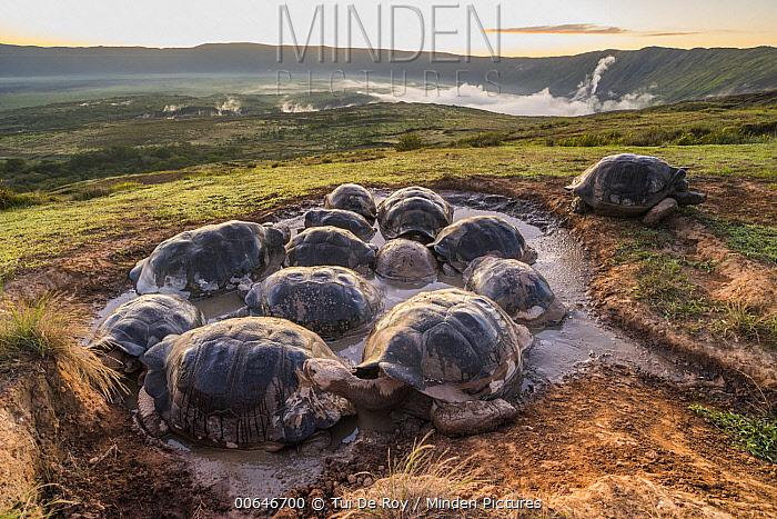 Volcan Alcedo Giant Tortoise (Chelonoidis vandenburghi) group wallowing in seasonal pond, Alcedo Volcano, Isabela Island, Galapagos Islands, Ecuador