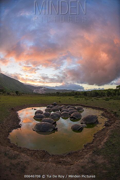 Volcan Alcedo Giant Tortoise (Chelonoidis vandenburghi) group wallowing in seasonal pool, Alcedo Volcano, Isabela Island, Galapagos Islands, Ecuador