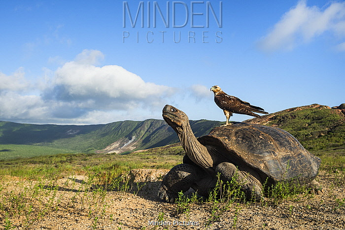 Galapagos Hawk (Buteo galapagoensis) on Volcan Alcedo Giant Tortoise (Chelonoidis vandenburghi) on volcano, Alcedo Volcano, Isabela Island, Galapagos Islands, Ecuador