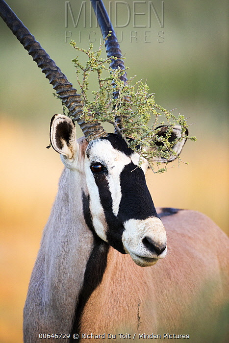 Oryx (Oryx gazella) male with vegetation around horns, Kgalagadi Transfrontier Park, South Africa