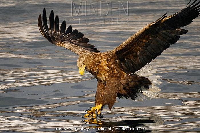 White-tailed Eagle (Haliaeetus albicilla) fishing, Hokkaido, Japan