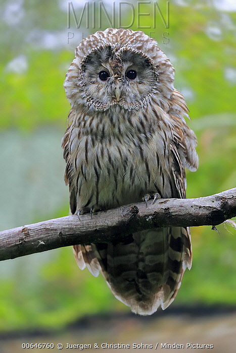 Ural Owl (Strix uralensis), native to Europe and Asia