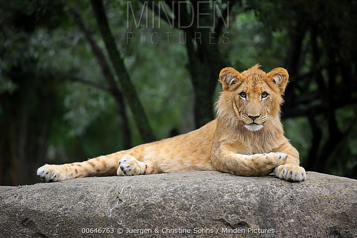 African Lion (Panthera leo) sub-adult male, native to Africa and Asia