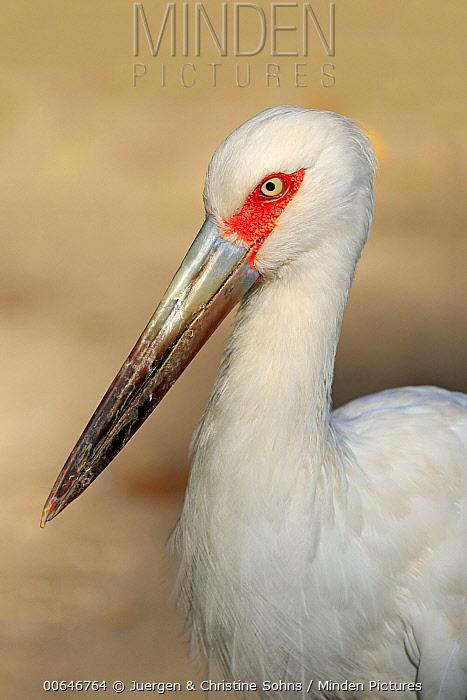 Maguari Stork (Ciconia maguari), native to South America